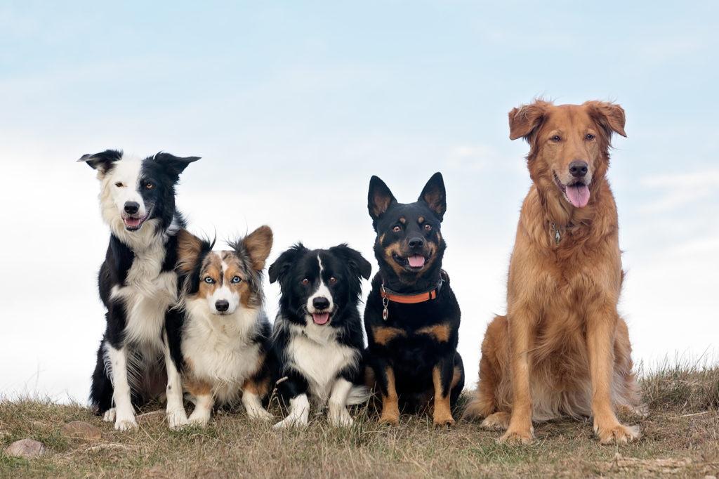 Viel verschiedene Hunde