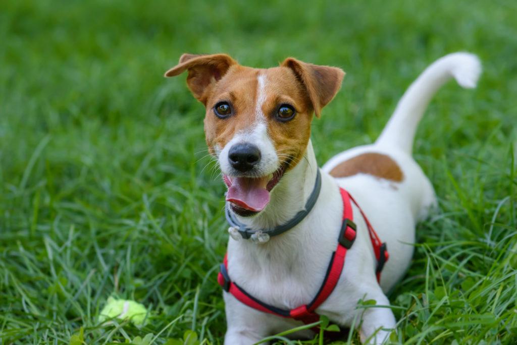 Jack Russell glücklich im Gras