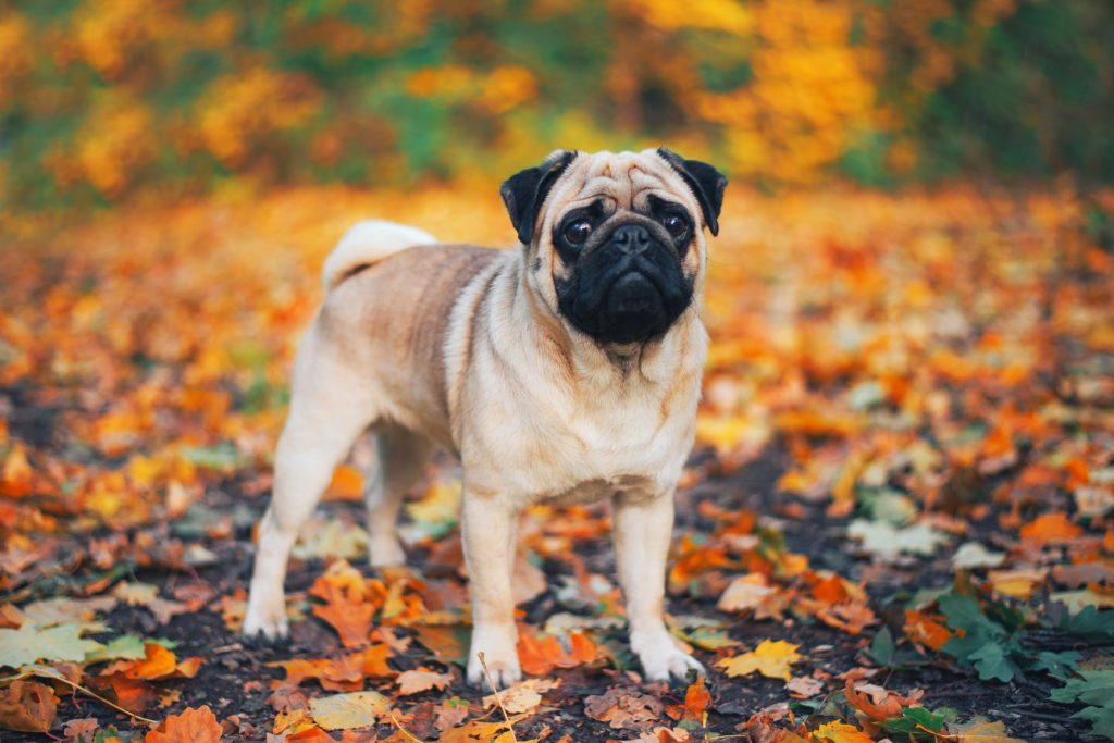 Pug in Autumn leaves