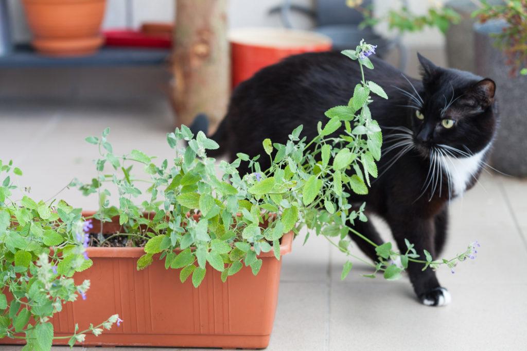 Katze kreist um Katzenminzen Strauch.