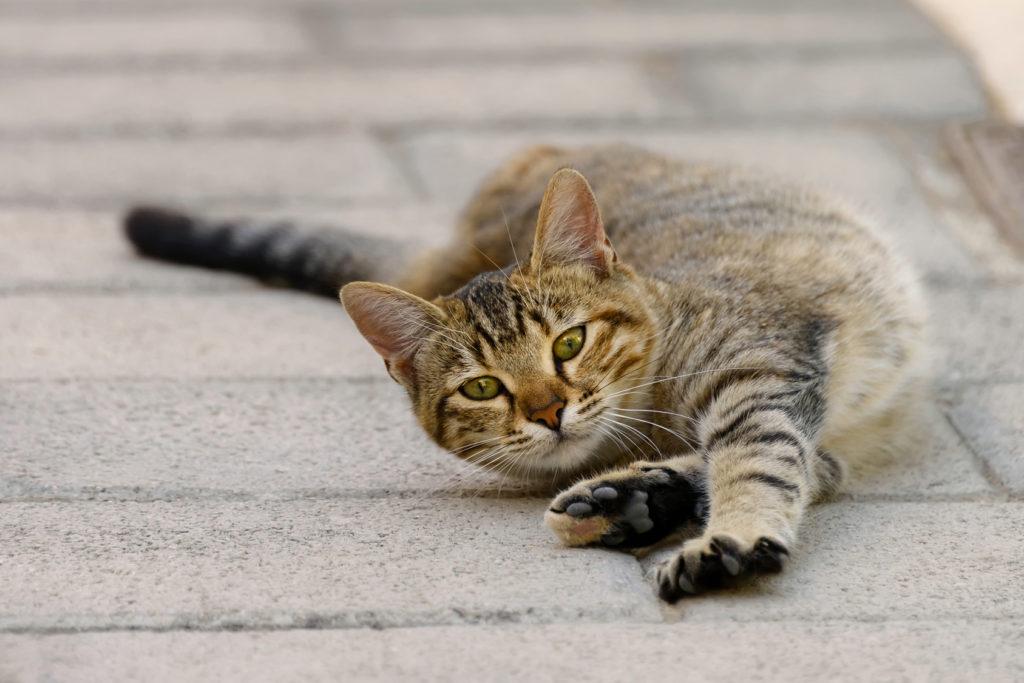 Krolsheid bij katten