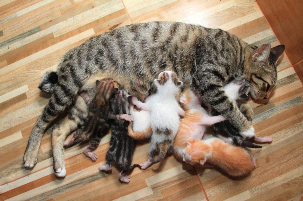 Kätzchen sauen an der Geburt an den Zitzen der Katzenmutter.