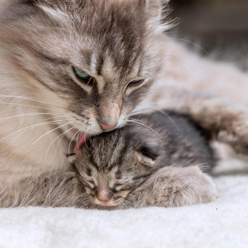 Katzensäuberung nach der Geburt
