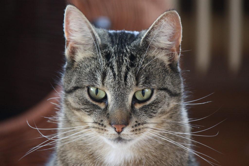 katzengehör einer katze