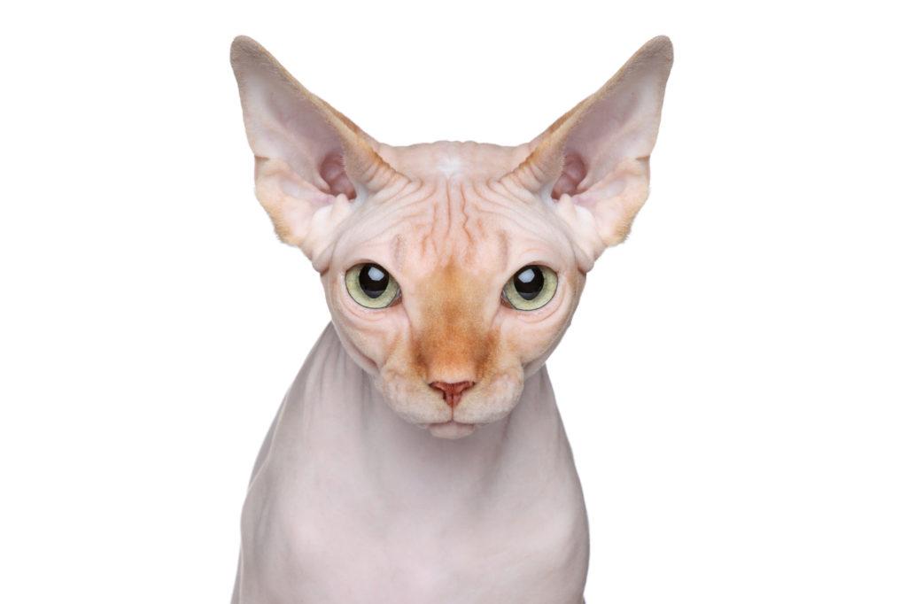 Porträt Sphynx-Katze ohne Tasthaare