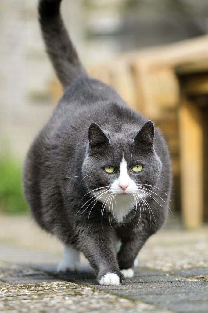 Sehr dicke Katze läuft auf einem Weg