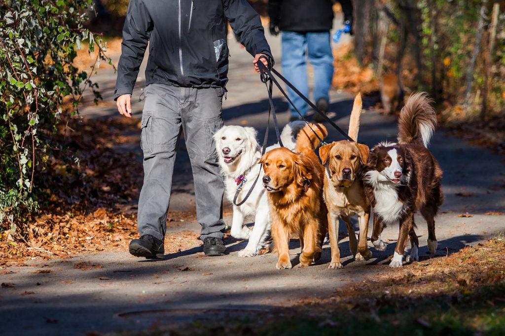 Gassi gehen mit merheren Hunden
