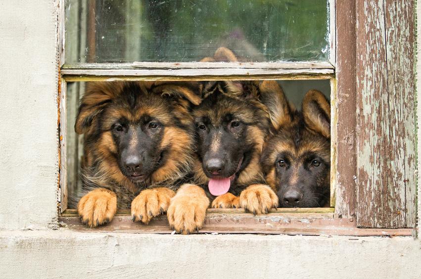 Drei Schäferhunde schauen aus dem Fenster.
