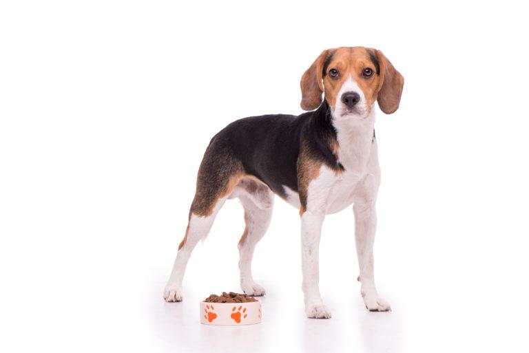 alimentación para el beagle