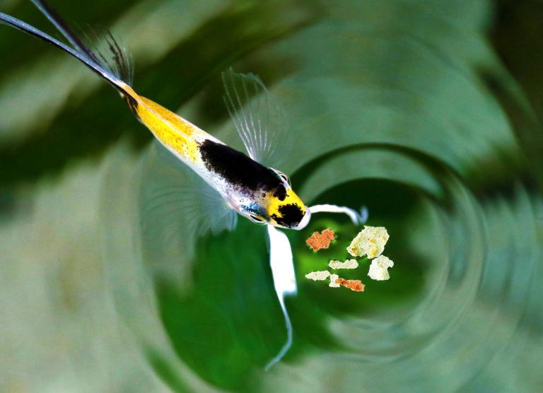 Alimentación para peces de acuario