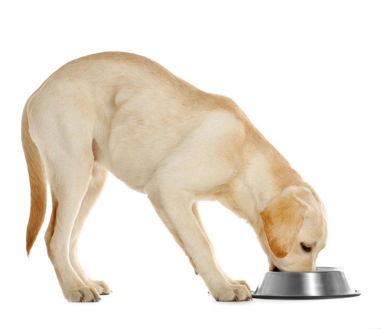 Alimentación para labrador retriever