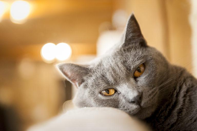 Gato de la raza cartujo