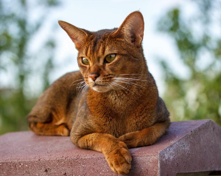 Gato de la raza abisinio