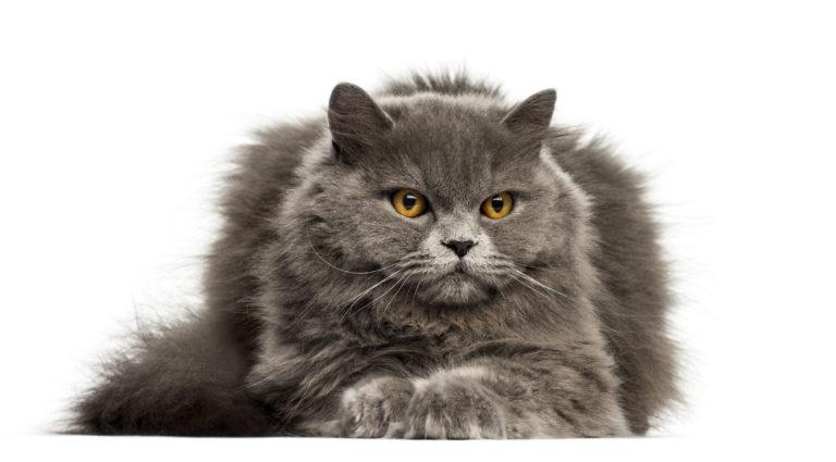 Gato de la raza british longhair