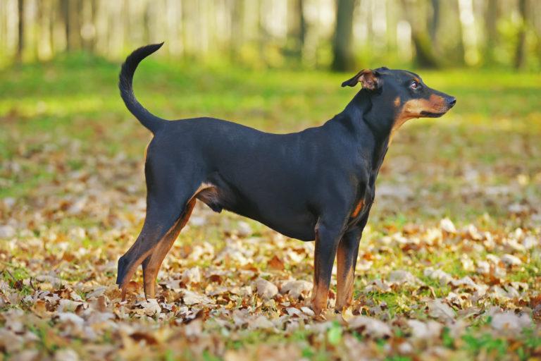 Razas de perros: el pinscher alemán