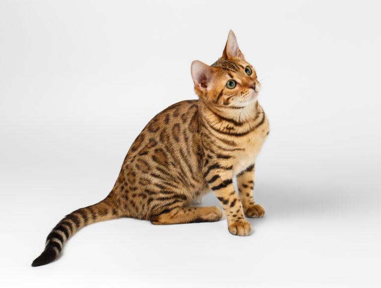 El gato de Bengala o bengalí
