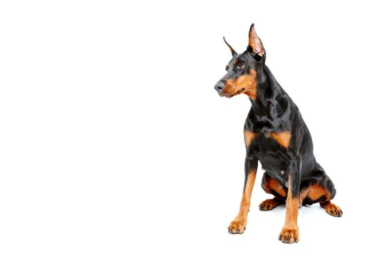 Perro de raza dóberman