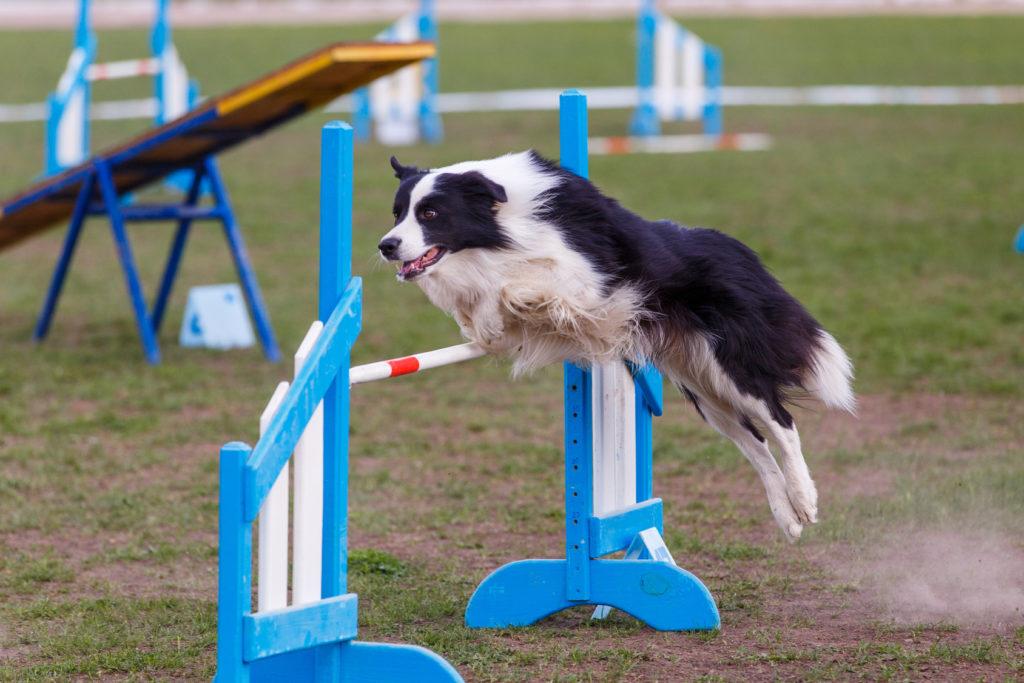agility perros