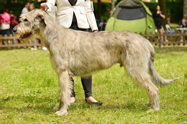 Irischer Wolfshund portrait