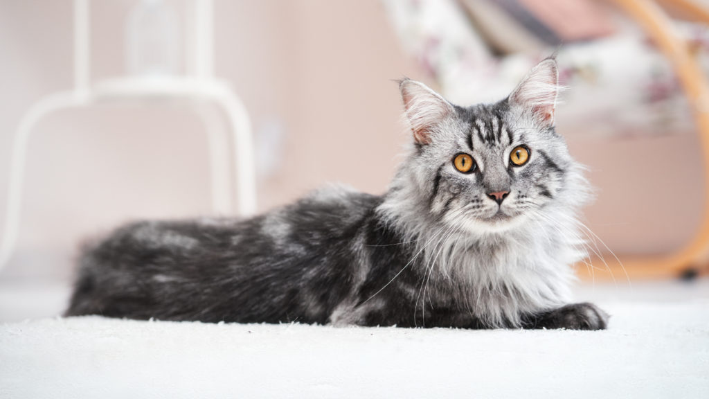 maine coon futter