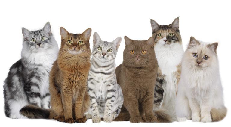 Comida para gatos de raza
