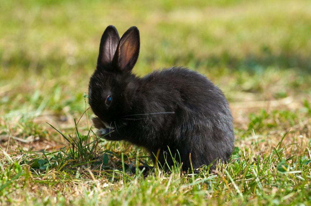 Kaninchen putzt sich