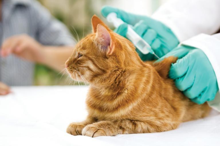 Vacunacion para gatos - ¿Sabes qué vacunas necesita tu gato?