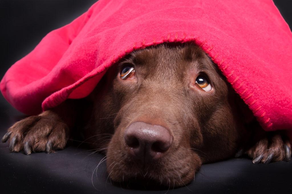 Labrador versteckt sich ängstlich unter einer Decke