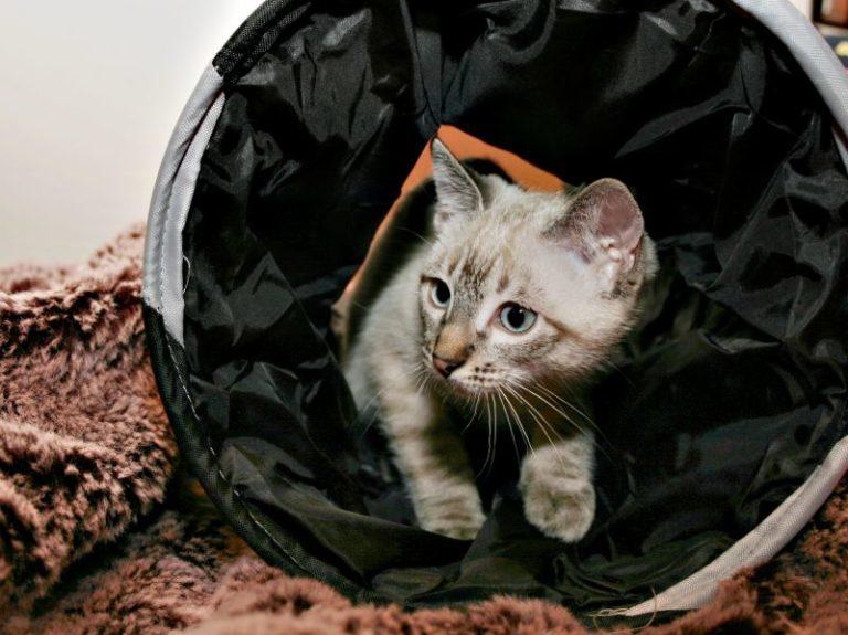 Agility para gatos