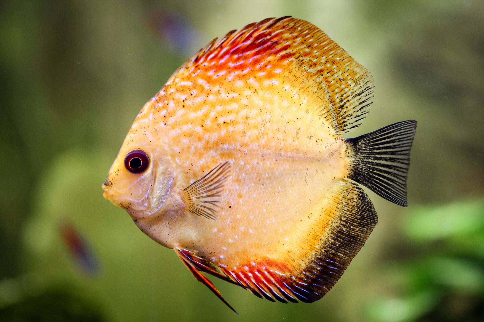Diskusfisch im Aquarium