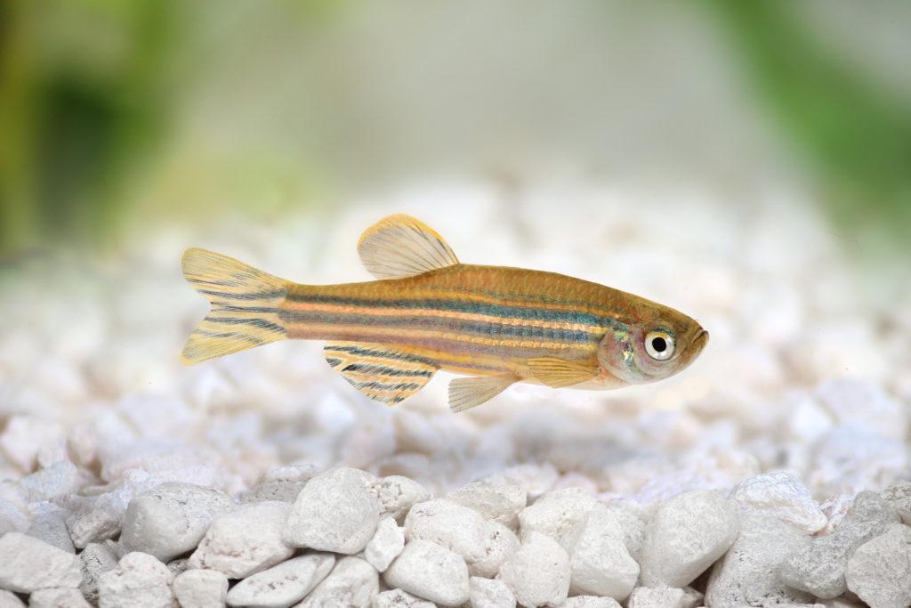 zebrabärbling fisch