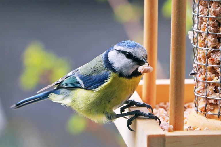 Comida para pájaros silvestres