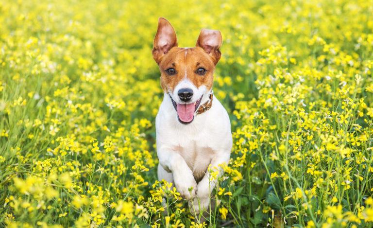 Parásitos en perros: pulgas y garrapatas