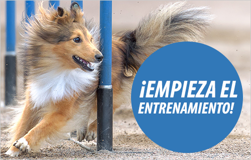 sport agility perros