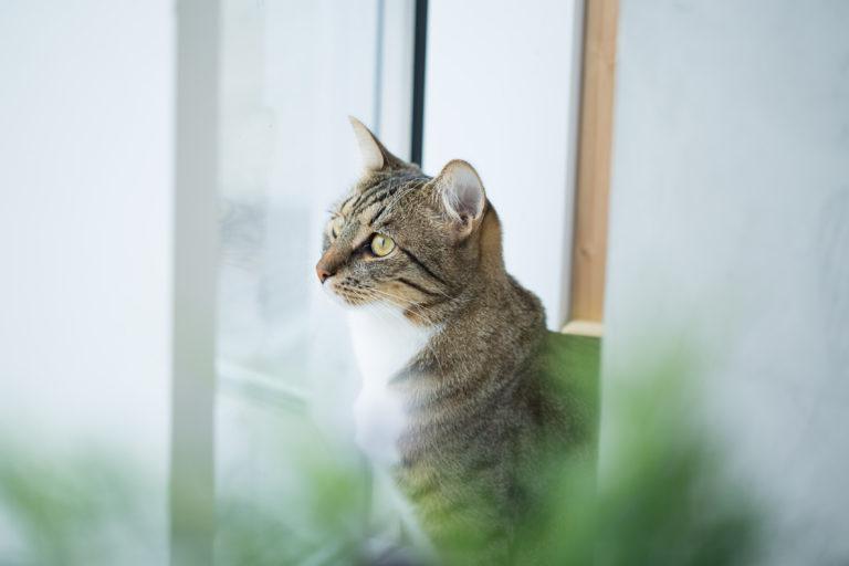Catnip o menta para gatos