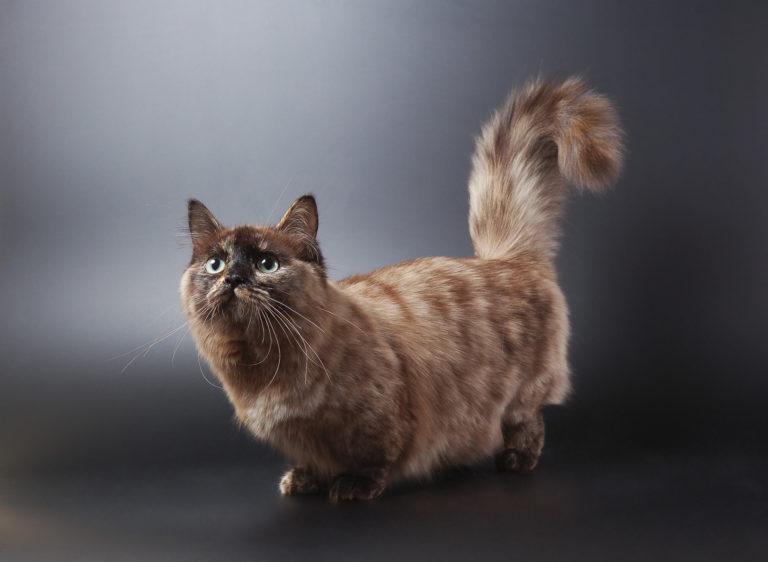 Gato de la raza munchkin