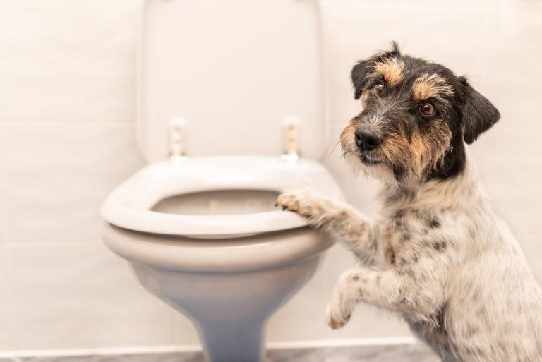 Mi perro me sigue al baño