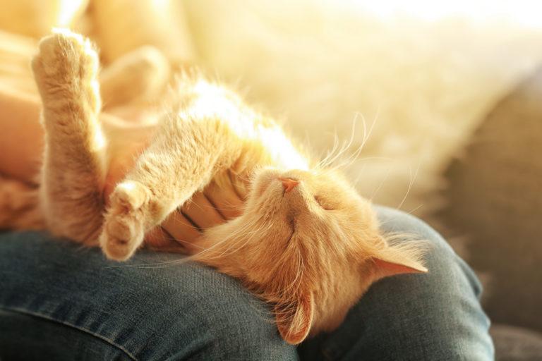Adoptar a un gato adulto