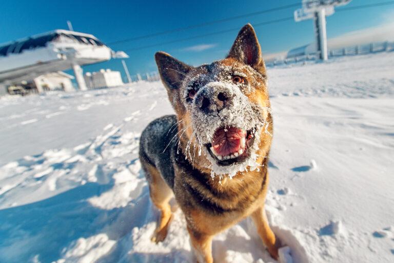 Proteger a los perros en invierno