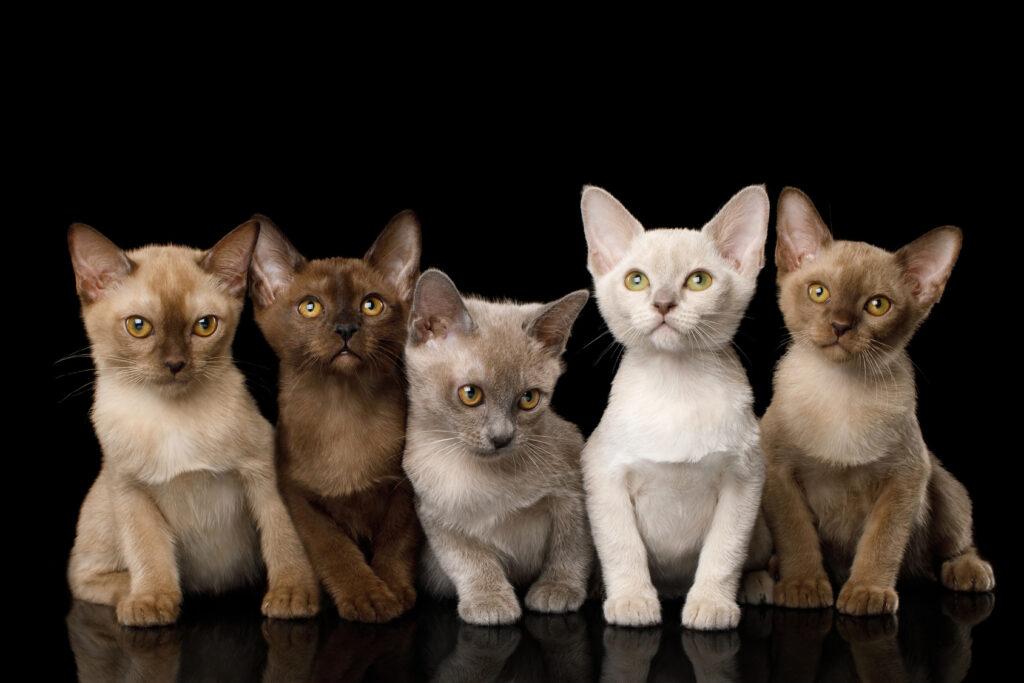Gato burmés