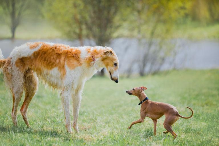 Perro grande o pequeño