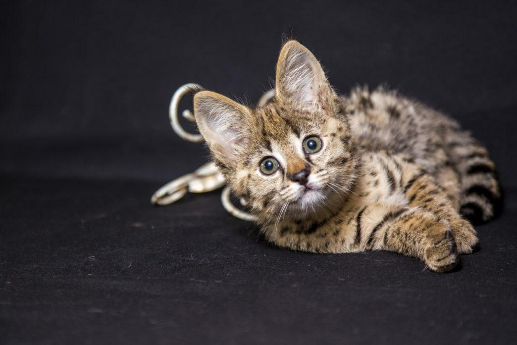 gatos híbridos