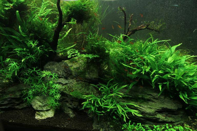 Algas en el acuario