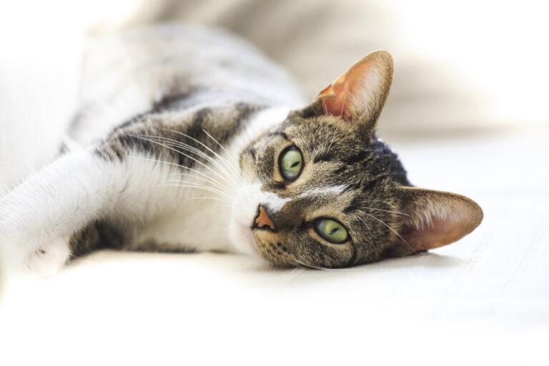 Alergias en gatos