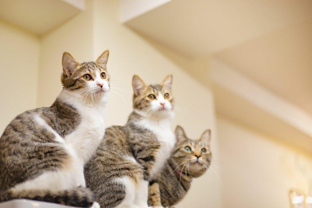 Giardia en gatos