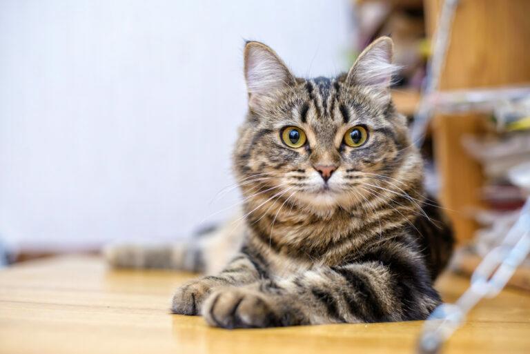 giardia gatos tratamiento