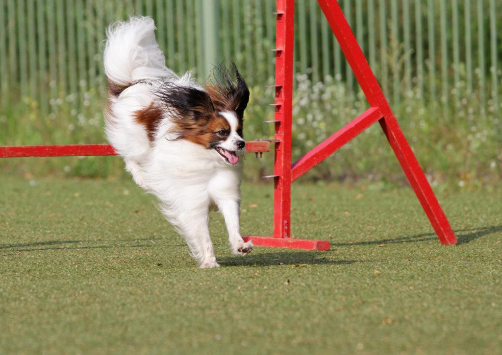 Agility con perros pequeños