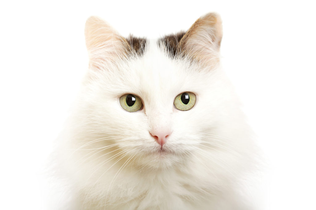 Gato van turco