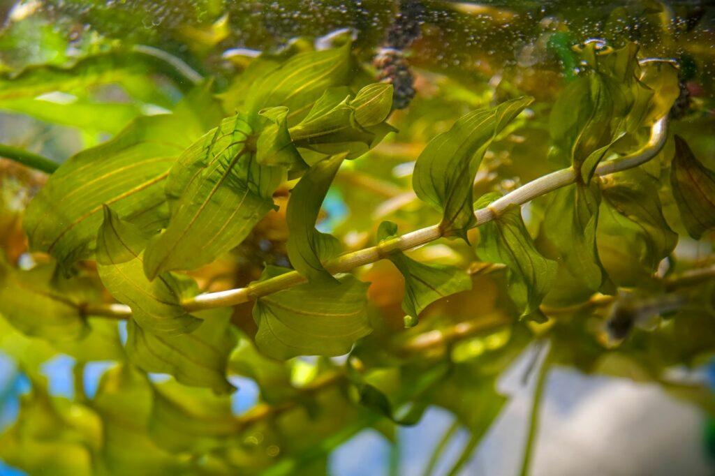 bräunlich-grüne Pflanze schwimmt im Wasser