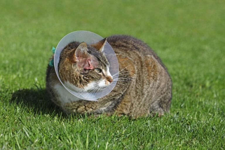 Abscesos en gatos